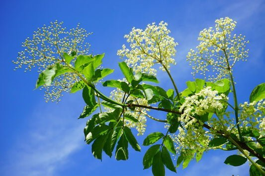 You can take cuttings from elderflower and willow to grow your own trees