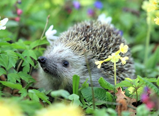 Help support hedgehog recover with a wildlife-friendly garden