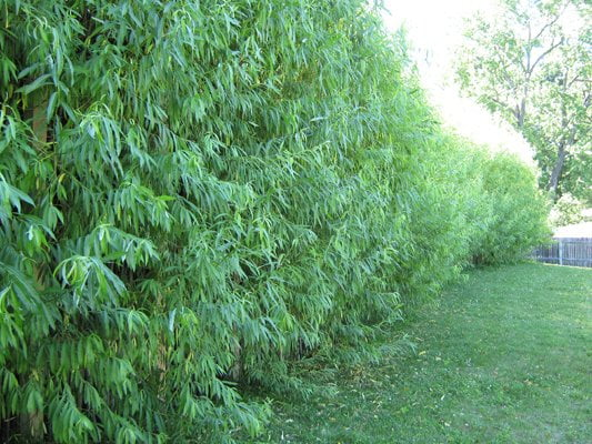 A fully grown fedge or living willow hedge