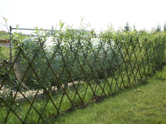 A young living willow hedge