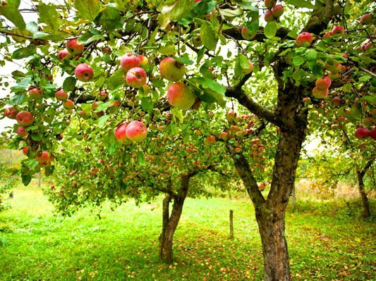 Apple and pear trees