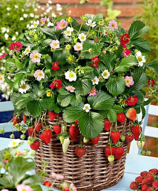 Grow your own fruit: strawberries