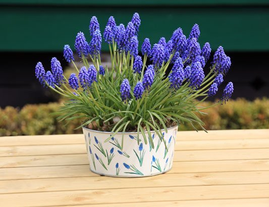 Grape hyacinth planted in pot