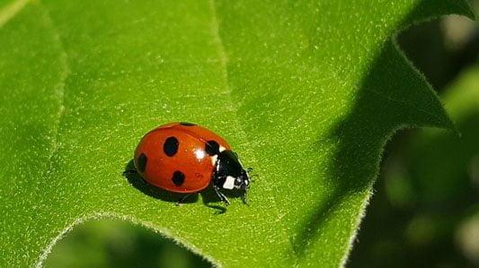 Ladybugs eat greenfly