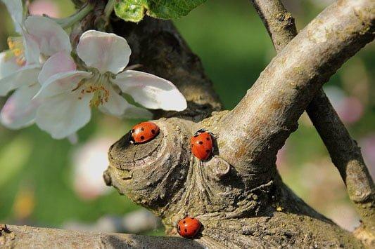 Ladybug pollinator and aphid killer