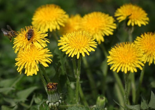 Leave weeds for bees and pollinators
