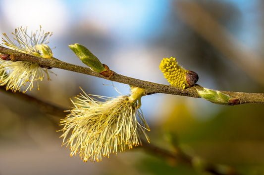 Planting for pollinators (Willow)