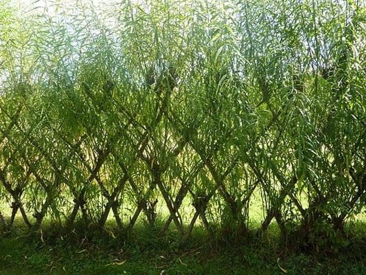 Living willow fedge